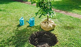 移殖の苗木
