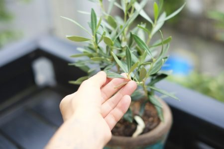 オリーブを鉢植え