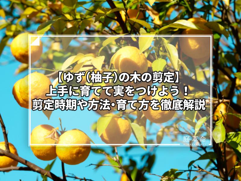 ゆず(柚子)の木