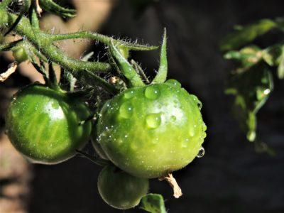 濡れているトマト