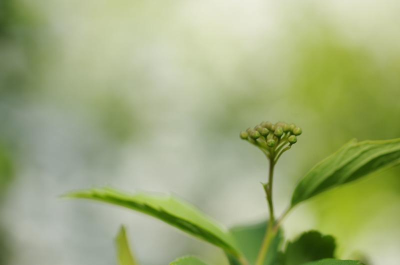 コデマリの花芽