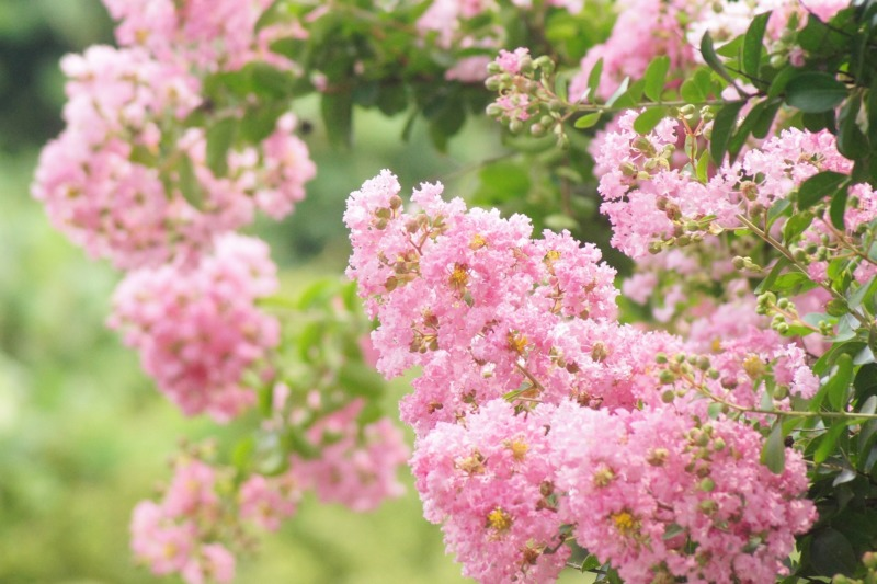 サルスベリ(百日紅)のピンクの花