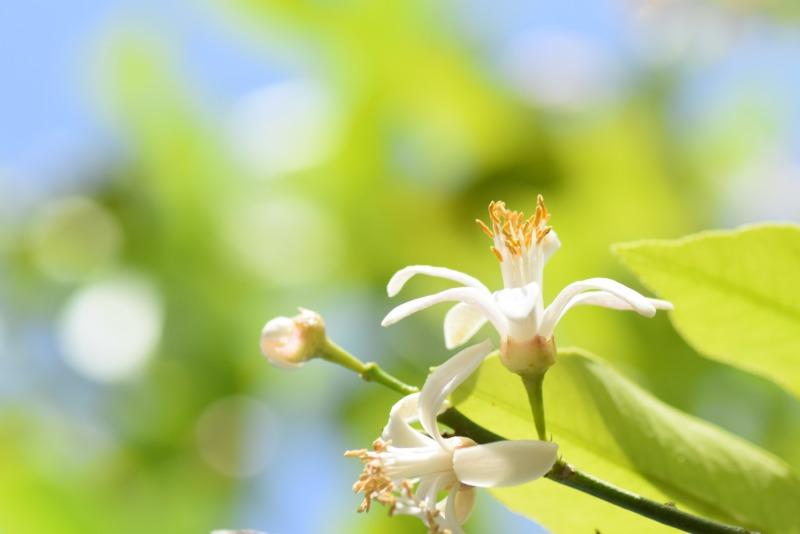 レモンの花