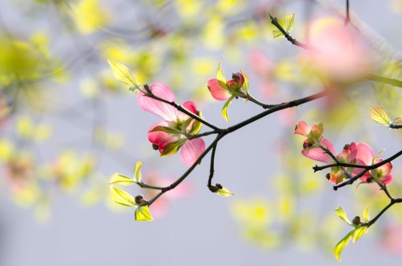 ハナミズキの枝