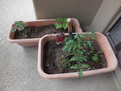 ミニトマト挿し木