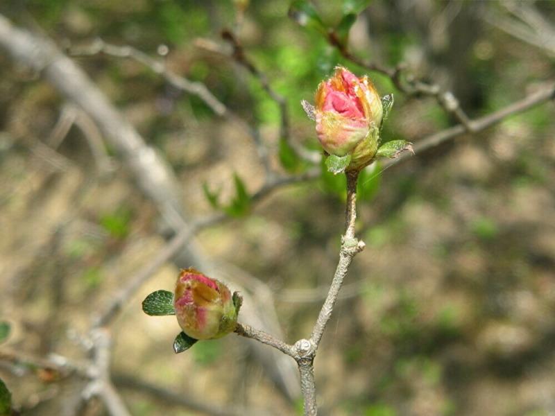 ツツジの花芽