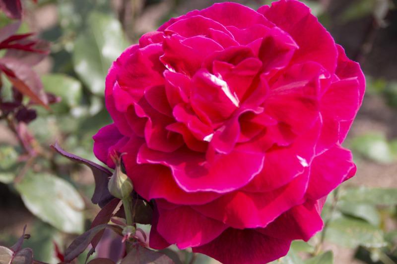 四季咲き薔薇