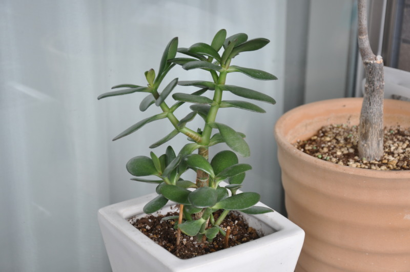 鉢植えの金のなる木