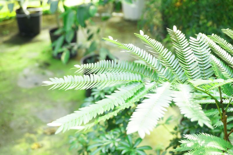 エバーフレッシュの葉