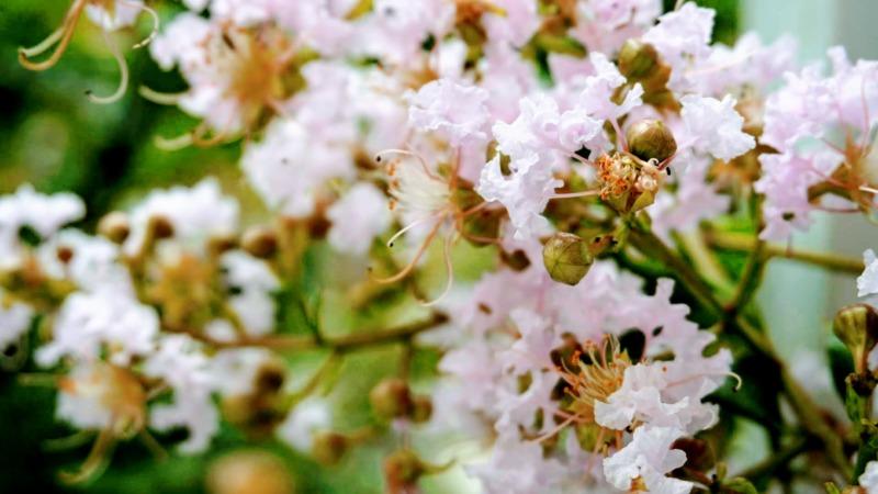 サルスベリ(百日紅)の花芽