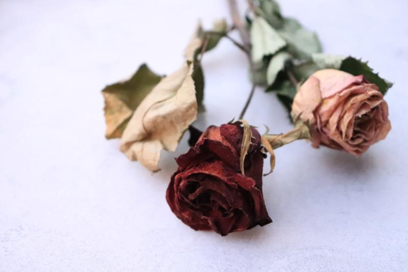 枯れている薔薇