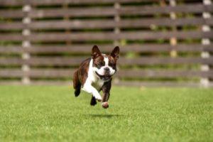 芝で遊ぶ犬