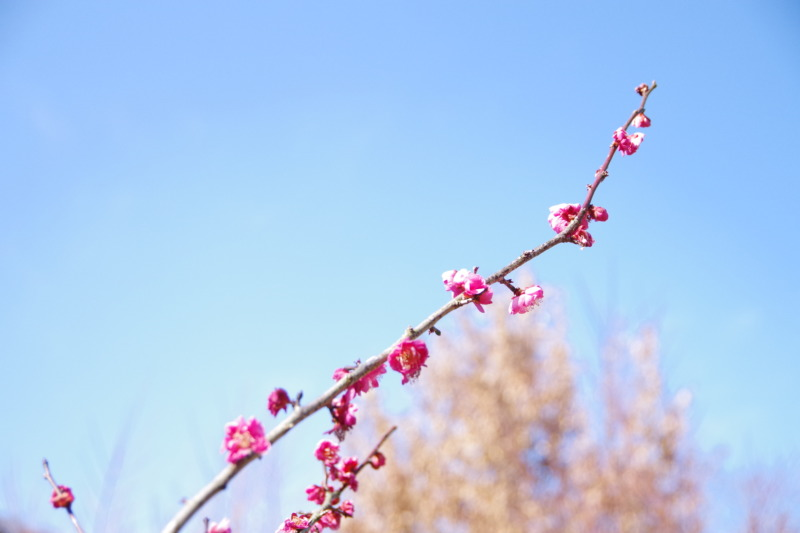 梅の徒長枝