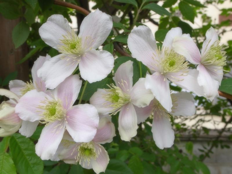 クレマチス旧枝咲き