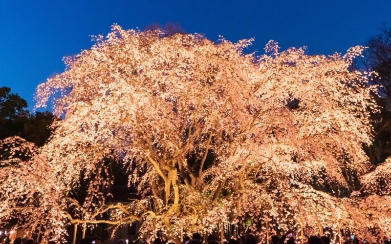 しだれ桜ライトアップ