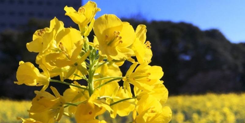 菜の花のお花畑