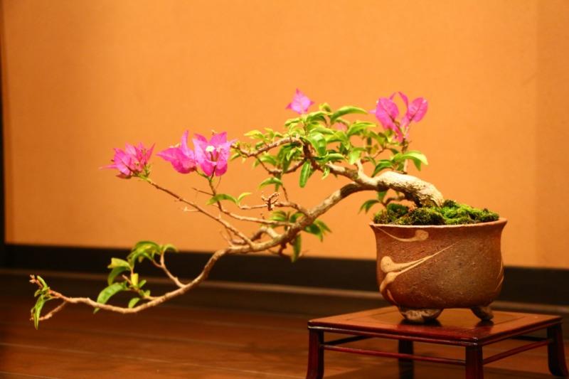 ブーゲンビリアの盆栽