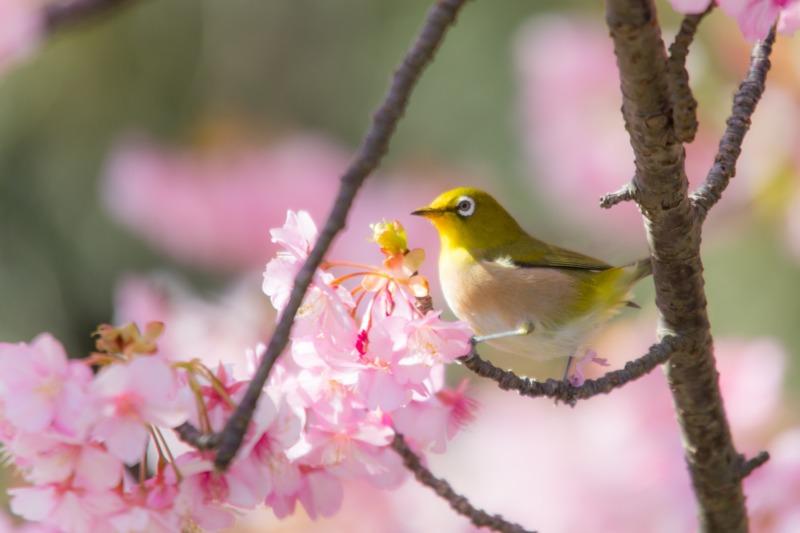 ウグイスと枝垂桜
