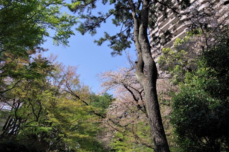 御殿山庭園の桜