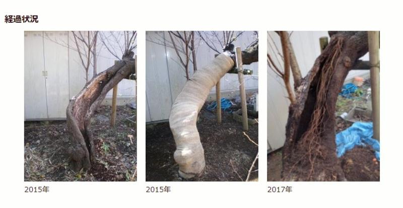 ハナモモの樹勢回復