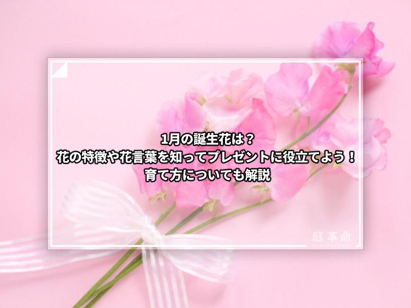 1月誕生花