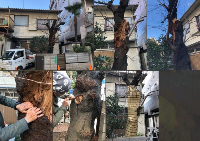 サクラの樹幹治療