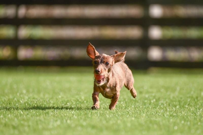 芝生で走る犬